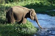 Bảo tồn voi ở Đắk Lắk vẫn còn nhiều thách thức