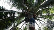 Quảng Ngãi không có chuyện dừa xiêm tại Trà Bồng chết hàng loạt