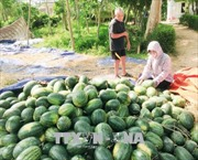 Nông sản Việt bao giờ hết… phải 'giải cứu'?