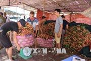 Đẩy mạnh tiêu thụ nông sản: Vải sớm Thanh Hà sản lượng cao, giá tốt