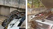 Chết đứng khi phát hiện trăn nặng 30kg trong cốp ô tô