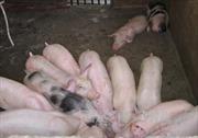 Giá lợn hơi ở Trà Vinh chạm mốc 50.000 đồng/kg