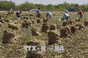 Ngành nông nghiệp Mỹ 'lao đao' vì vấn đề tranh chấp thương mại
