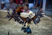 Hải Dương: Bắt nhóm đối tượng đánh bạc bằng hình thức đá gà