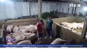 Bắt quả tang cơ sở bơm nước vào lợn tại Long An