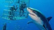 Ghi hình được con cá mập trắng to nhất từ trước tới nay