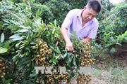 Nhiều nông dân Hải Dương thu lãi hàng trăm triệu đồng từ nhãn