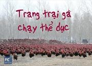 Chủ trang trại dẫn 70.000 con gà chạy bộ hàng ngày để thịt ngon