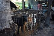Nỗi ám ảnh bệnh dại và trầm cảm từ nghề buôn thịt chó ở Campuchia