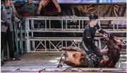 'Kung-fu đấu bò' trở lại Trung Quốc sau hàng thế kỷ dù bị chỉ trích tàn bạo