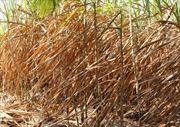Hàng trăm ha mía bị cháy trụi do nắng hạn ở Sơn Hòa, Phú Yên