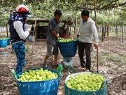 Trồng táo trong nhà lưới mang lại hiệu quả cao