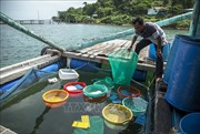 Xã đảo Tiên Hải chú trọng phát triển mô hình nuôi ốc hương