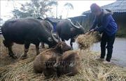 Rét đậm, rét hại khiến cả trăm trâu, bò chết tại Cao Bằng