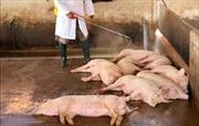 Cà Mau thành lập thêm các chốt, trạm kiểm soát dịch tả lợn châu Phi