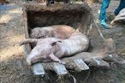 Xuất hiện ổ dịch tả lợn châu Phi đầu tiên tại Kiên Giang