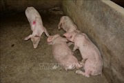 Khó khăn trong phòng chống dịch tả lợn châu Phi
