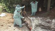 Hỗ trợ các hộ chăn nuôi bị dịch tả lợn châu Phi