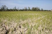 Nhiều diện tích lúa tại Thừa Thiên - Huế bị chết do xâm nhập mặn