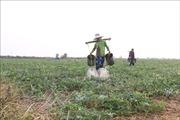 Trồng dưa hấu trên đất lúa - giải pháp thích ứng mùa khô hạn
