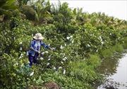Chuyển đất lúa kém hiệu quả sang trồng ổi cho thu nhập cao