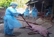 Phát hiện thêm ổ dịch tả lợn châu Phi tại TP Hồ Chí Minh