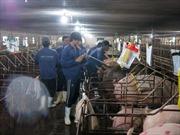 TP Hồ Chí Minh kiểm soát dịch bệnh tả lợn châu Phi từ các cửa ngõ
