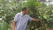Giá cà phê giảm kỷ lục trong 10 năm qua, nhà nông lo tắc đầu ra khi sắp vào vụ mới