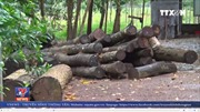 Làm rõ trách nhiệm vụ phá rừng tại Bình Phước