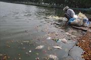 Cá chết dạt vào ven Hồ Tây bốc mùi hôi thối