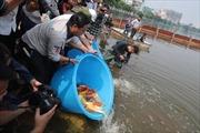 Cá Koi Nhật Bản 'tung tăng' trong nước sông Tô Lịch và Hồ Tây đã qua xử lý