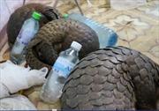 Bắt giữ vụ vận chuyển động vật hoang dã quý hiếm