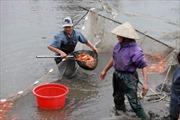 Làng nuôi cá chép đỏ Thuỷ Trầm hối hả trước ngày ông Công ông Táo