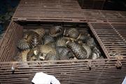 Điều tra vụ mua bán, tàng trữ 600 kg tê tê