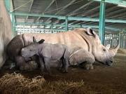 Giữa 'tâm bão' dịch COVID-19, Vinpearl Safari chào đón bé tê giác mới chào đời với cái tên 'Chiến thắng'