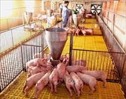 Ứng dụng khoa học vào chăn nuôi lợn ngoại khép kín an toàn sinh học
