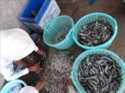 Ngư dân Bạc Liêu đánh bắt hải sản thu lãi cao