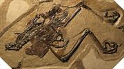 Phát hiện hóa thạch chim cổ đại còn nguyên 'thai trứng' bên trong