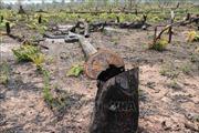 Rừng ở Ia Grai bị triệt hạ chỉ cách đồn biên phòng vài km