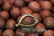 Lâm Đồng: Xuất khẩu 10 tấn hạt mắc ca sang Hàn Quốc, Singapore