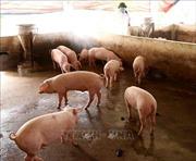 Triệu tập đối tượng tung tin thất thiệt về dịch tả lợn châu Phi