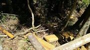 Khai thác trái phép gỗ du sam trong Khu bảo tồn thiên nhiên Nam Nung