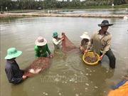 Giá tôm nguyên liệu tăng, người nuôi rục rịch thả nuôi mới