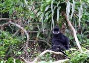 Nỗ lực bảo vệ loài voọc đen gáy trắng quý hiếm