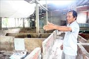 Bến Tre khuyến cáo người chăn nuôi lợn không tái đàn ồ ạt