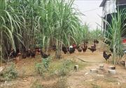 Bắc Ninh khống chế, không để lây lan dịch cúm gia cầm