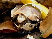 Cận cảnh những loài rùa quý hiếm tại Trung tâm bảo tồn rùa Cúc Phương