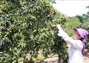 Bắc Giang chấp thuận cho 309 thương nhân Trung Quốc nhập cảnh thu mua vải thiều