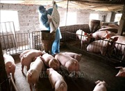 Tái đàn lợn an toàn theo hướng giám sát dịch tận gốc