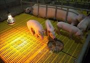 Quảng Ngãi bố trí hơn 41 tỷ đồng hỗ trợ thiệt hại do dịch tả lợn châu Phi